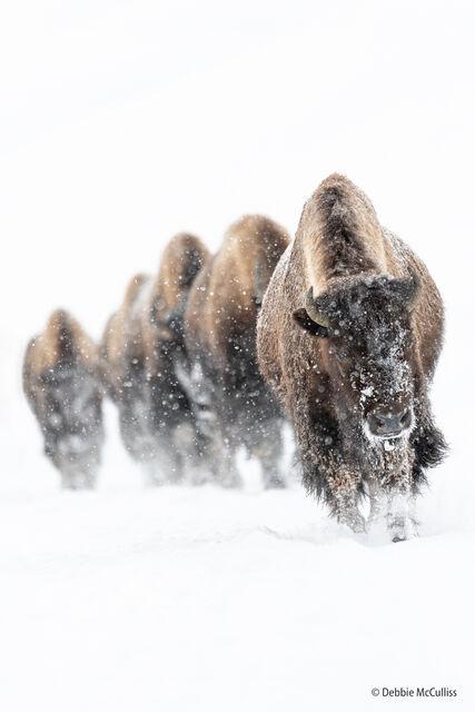 Yellowstone & Grand Teton National Park Wildlife and Nature Fine Art