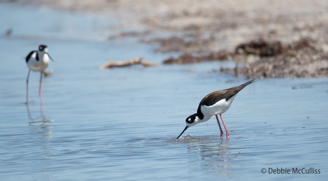 Black-necked, Stilt