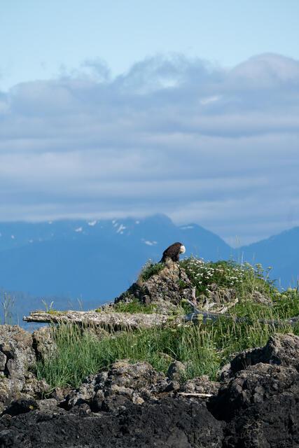 Bowed Eagle on Hillside