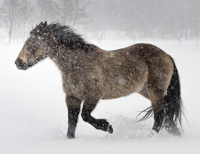 Brown Horse in Snow