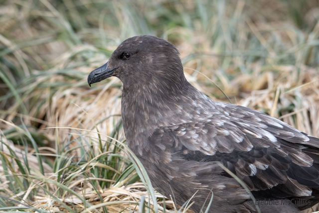 Brown Skua, Prion Island, South Georgia, Falkland Island