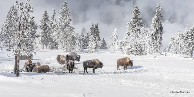 Yellowstone, bison