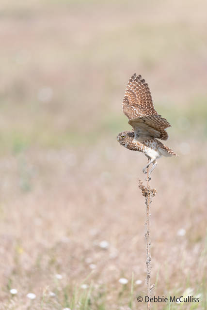 Burrowing owl, Rocky Mountain Arsenal