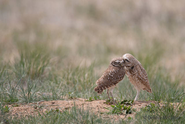April 29, Burrowing Owls, Rocky Mountain Arsenal National Wildlife Refuge