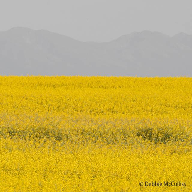 Montana Canola Field