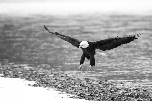 Bald Eagle, Chilkat River, Chilkat Bald Eagle Preserve, Haines, Alaska, November, Bald Eagle migration, bird migration