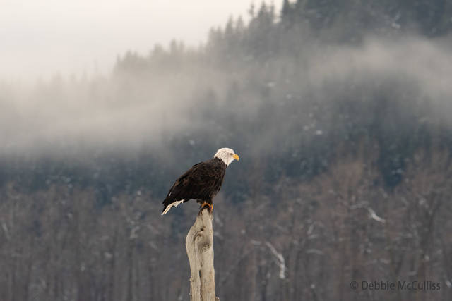 Chilkat River Eagle, Bald Eagle