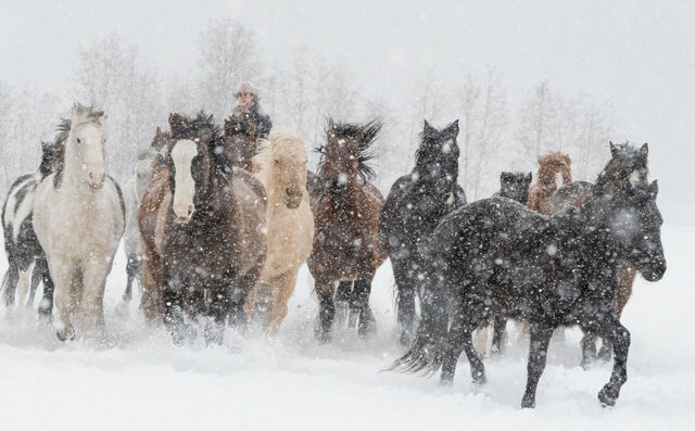 Cowgirl with Wild Horses