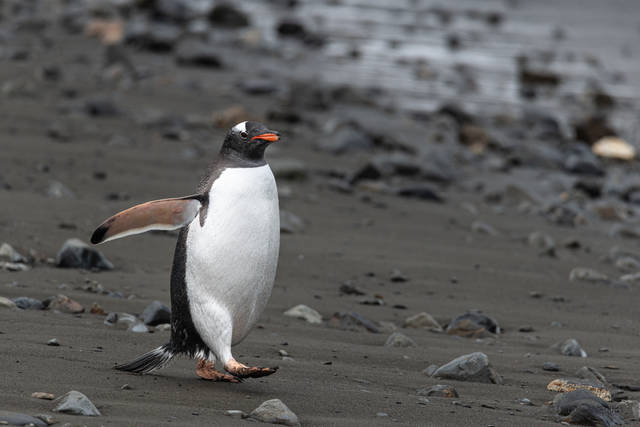 Gentoo Penguins, October 19 2019, South Georgia, West Falkland Islands, Zodiak Excursion, Zodiak Excursions