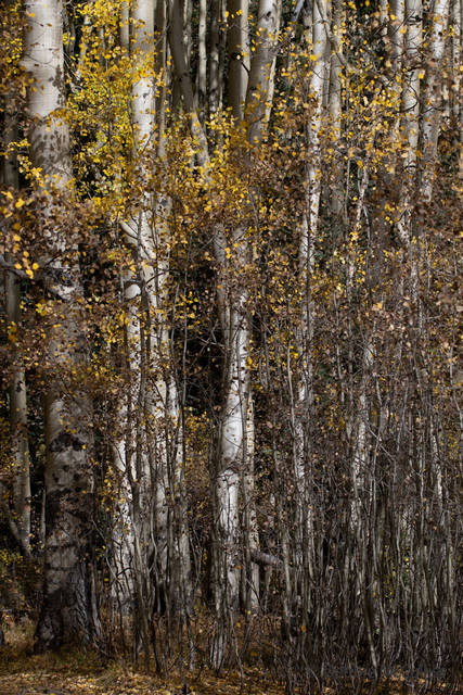 Colorado Fall Foliage, southwestern Colorado, gold Aspen leaves, September 2018