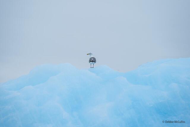 Gull on Iceberg
