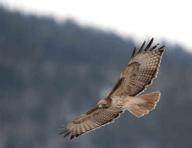 Lake Catamount, Red-tailed Hawk, Steamboat Springs, Colorado
