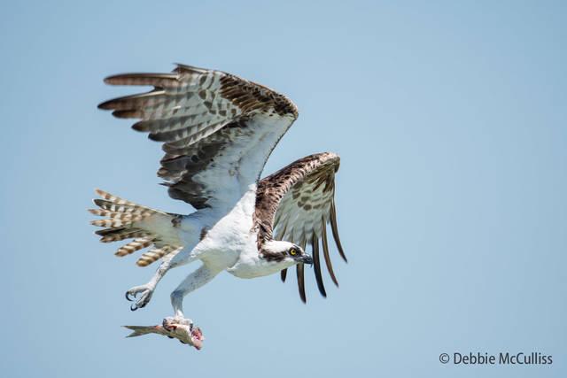 Islamorada, Osprey