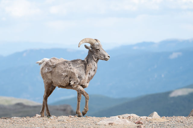 Mount Evans, Colorado, big horn sheep, ram, fourteener