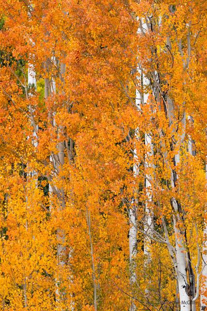 Orange Leafed Aspen Trees