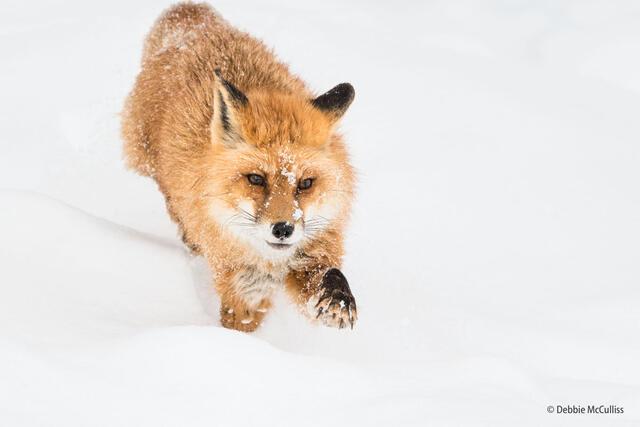 Red Fox Left