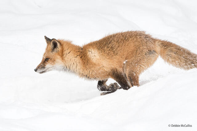 Red Fox In a Hurry