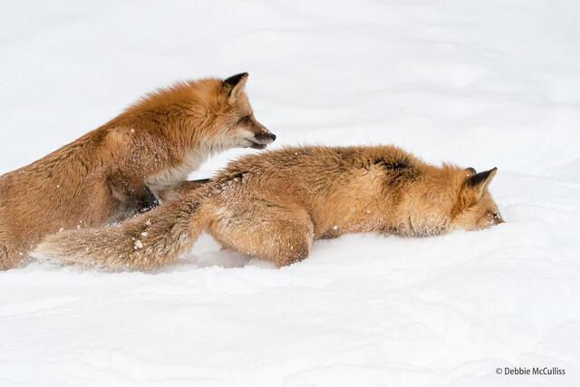 Red Fox Siblings