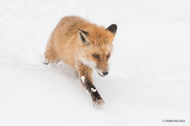Red Fox7