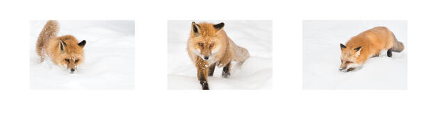 Red Fox Tryptic