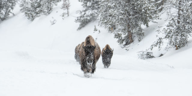 Bison, buffalo, Yellowstone