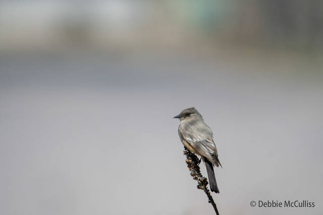 Rocky Mountain Arsenal National Wildlife Refuge, Says Phoebe, flycatcher