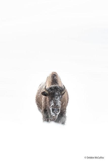 bison, Yellowstone, winter, snow