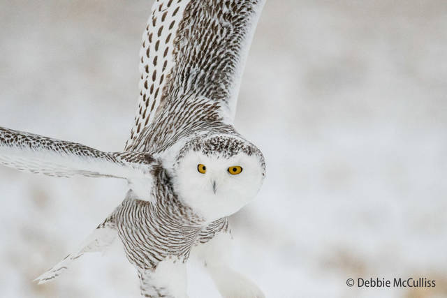 Owl Safari January 2018, Snowy Owl, Snowy Owl Safari