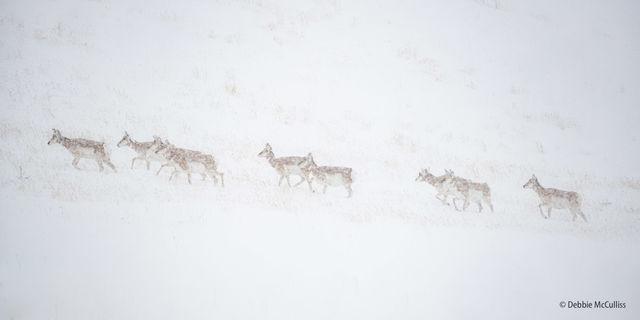 Proghorn, Snow, Winter, Yellowstone, Yellowstone National Park