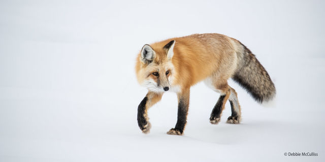 Red Fox, Yellowstone, winter, Yellowstone National Park