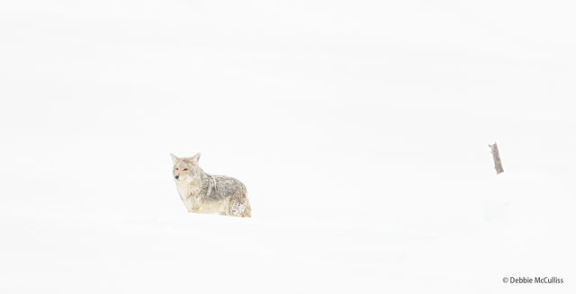 High Key Images, high key, coyote, winter, Yellowstone, Yellowstone National Park