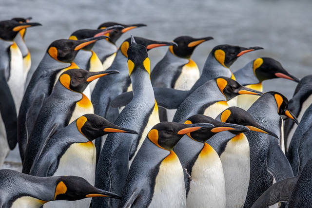King Penguins in Group