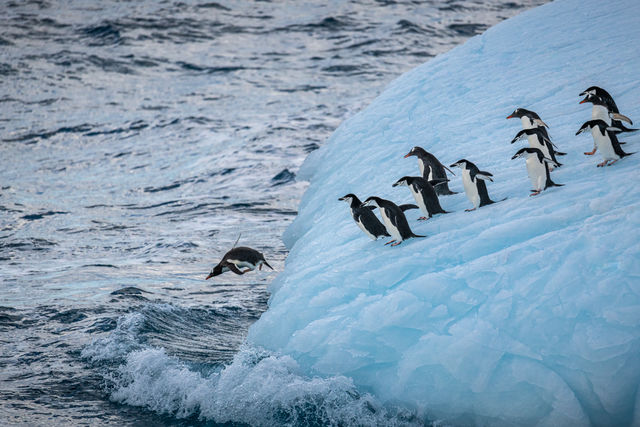 Penguins diving into the water