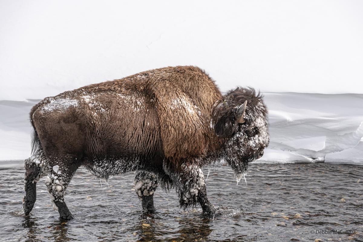 Buffalo, Yellowstone, photo