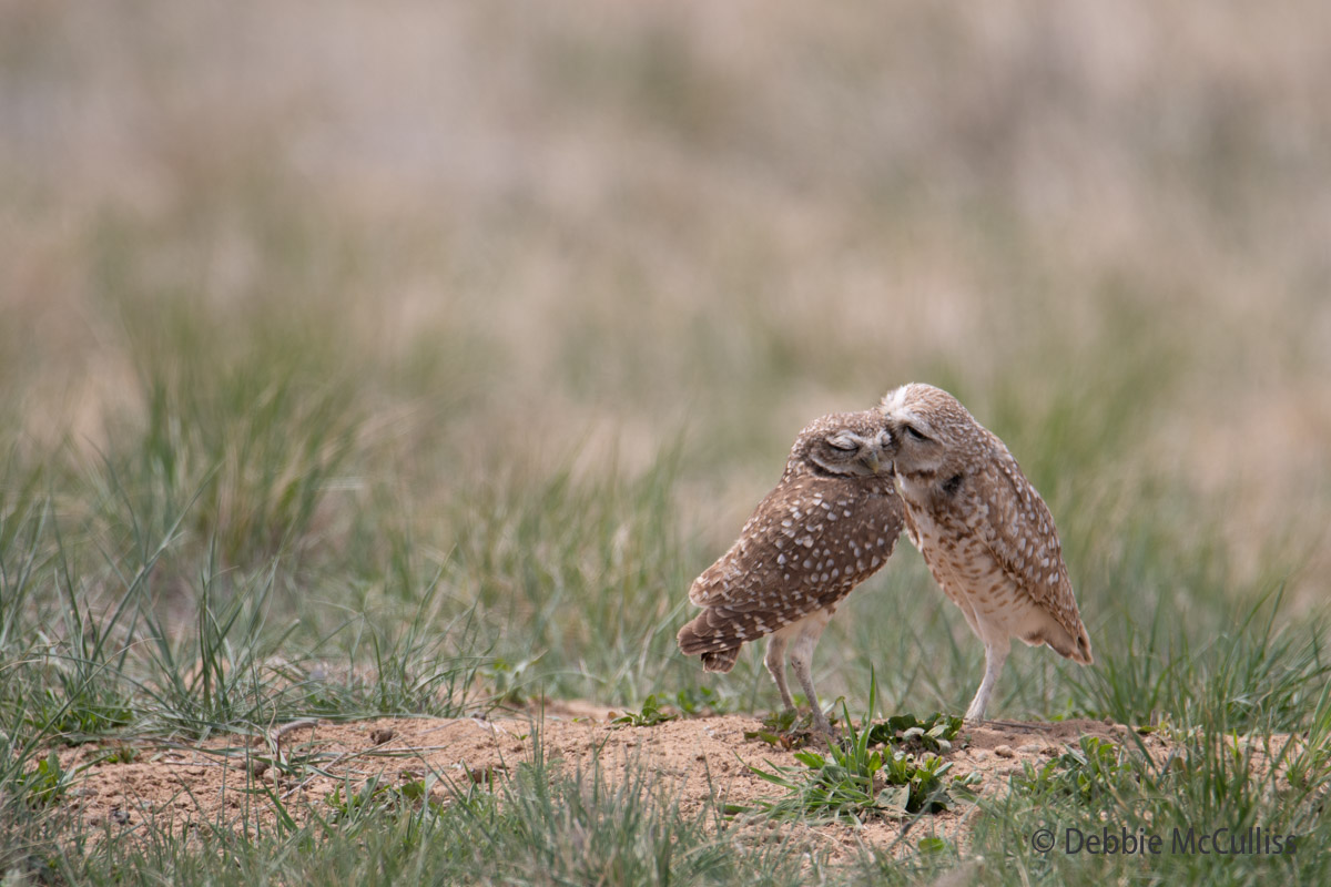 April 29, Burrowing Owls, Rocky Mountain Arsenal National Wildlife Refuge, photo
