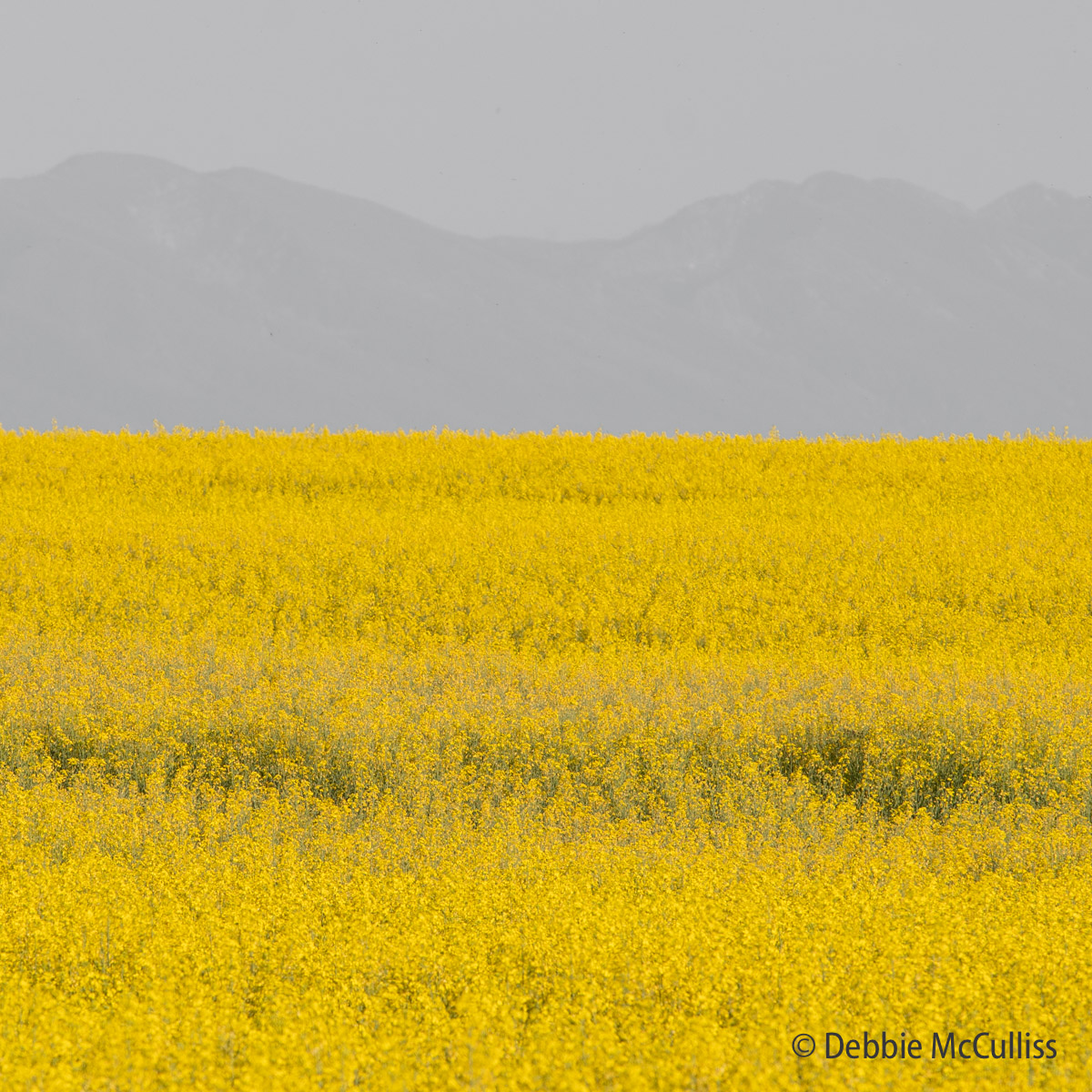 Montana Canola Field, photo