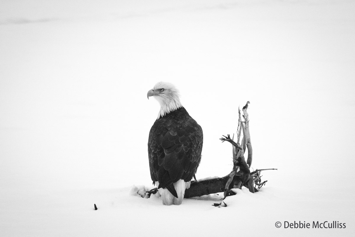 Chilkat River, Alaska, Bald Eagle, Bald Eagle Preserve, photo
