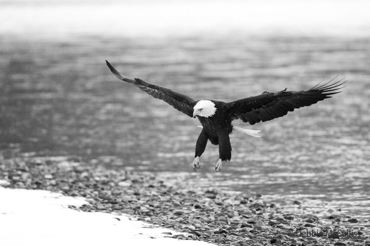 Bald Eagle, Chilkat River, Chilkat Bald Eagle Preserve, Haines, Alaska, November, Bald Eagle migration, bird migration, photo