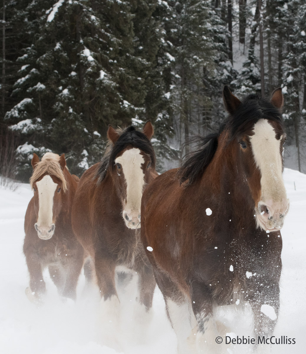 Clydesdale horses are a breed of draft horses. Often bay in color, they show significant white markings due to the presence of...