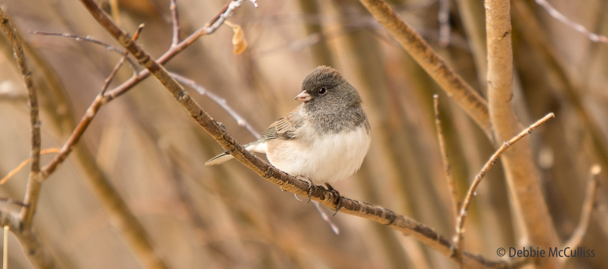 Dark-eyed Junco, Walden, Colorado, photo