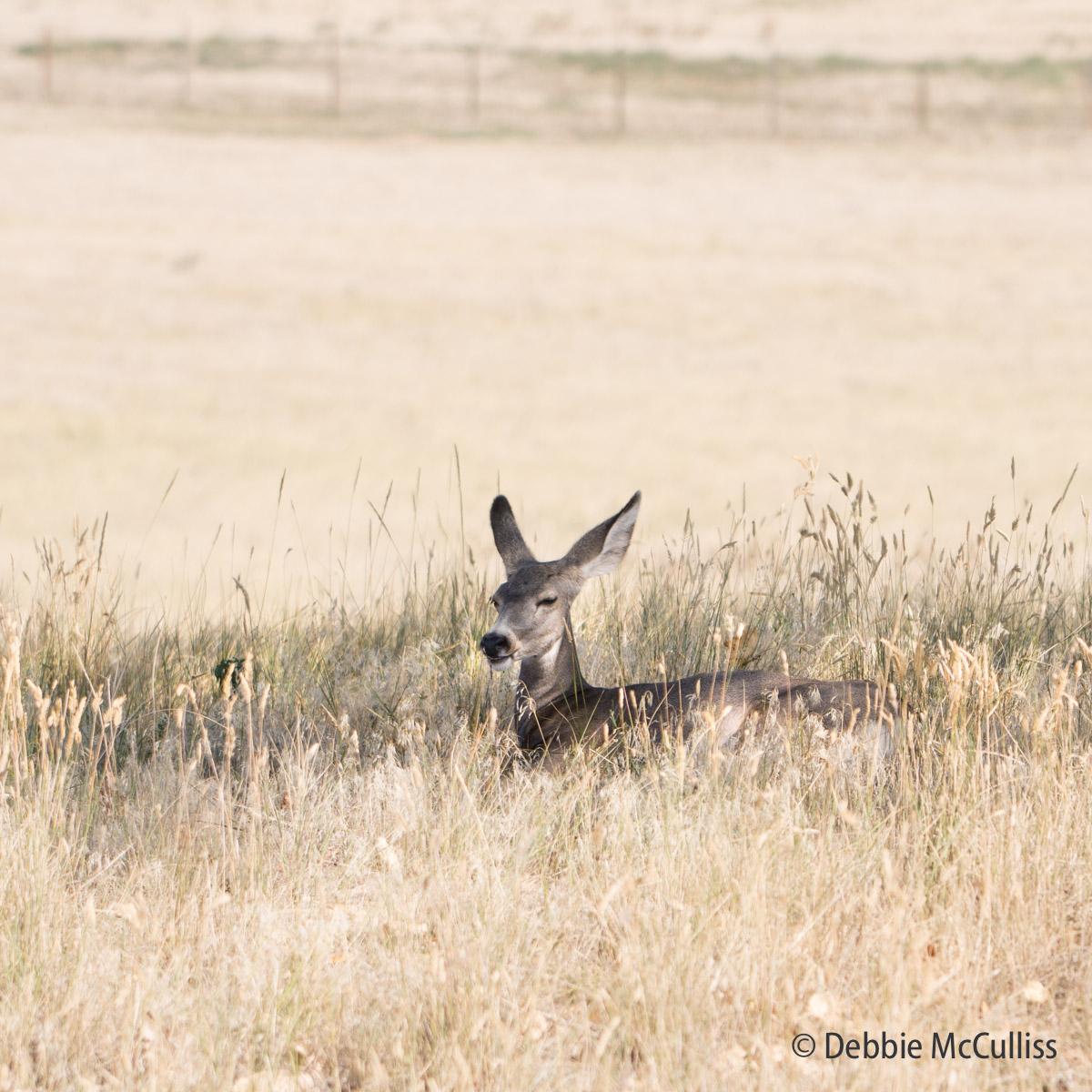 Rocky Mountain Arsenal, Summer 2017, deer, summer, photo