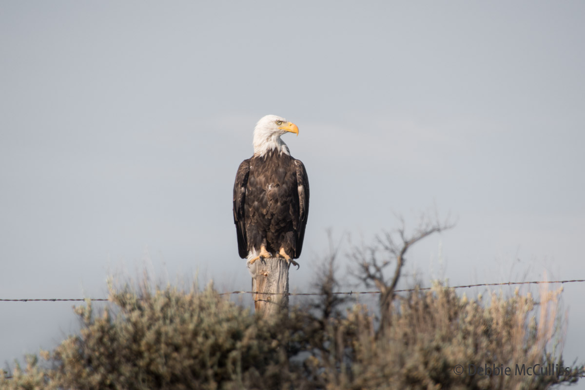Wolford Mountain Reservoir, Kremmling, Colorado, bald eagle, summer, photo