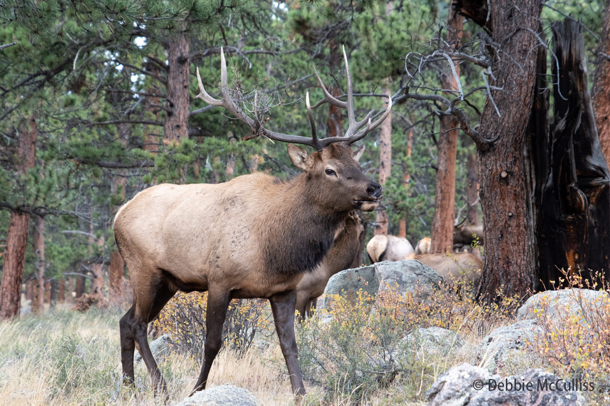 North American Elk, Rocky Mountain National Park, elk, fall, photo