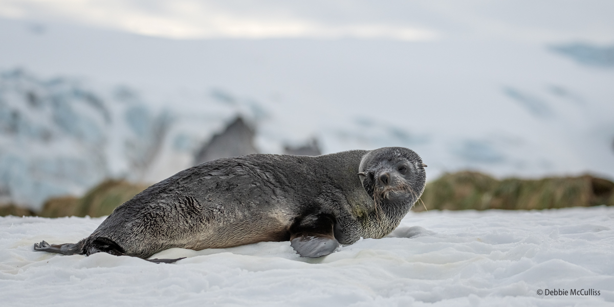 South Georgia holds about 95 percent of the global population of antarctic fur seals, an estimated 4.5-6.2 million animals. Early...