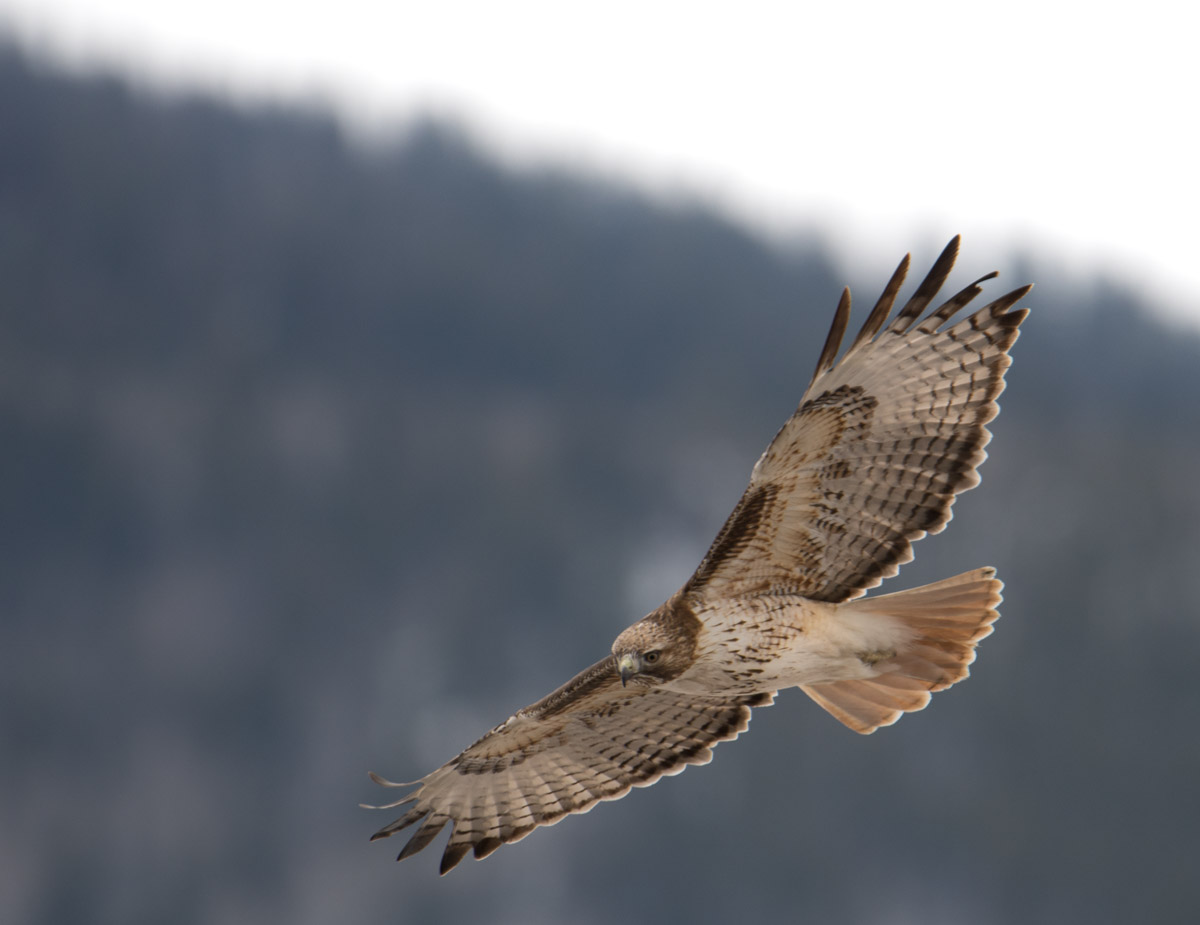 Lake Catamount, Red-tailed Hawk, Steamboat Springs, Colorado, photo