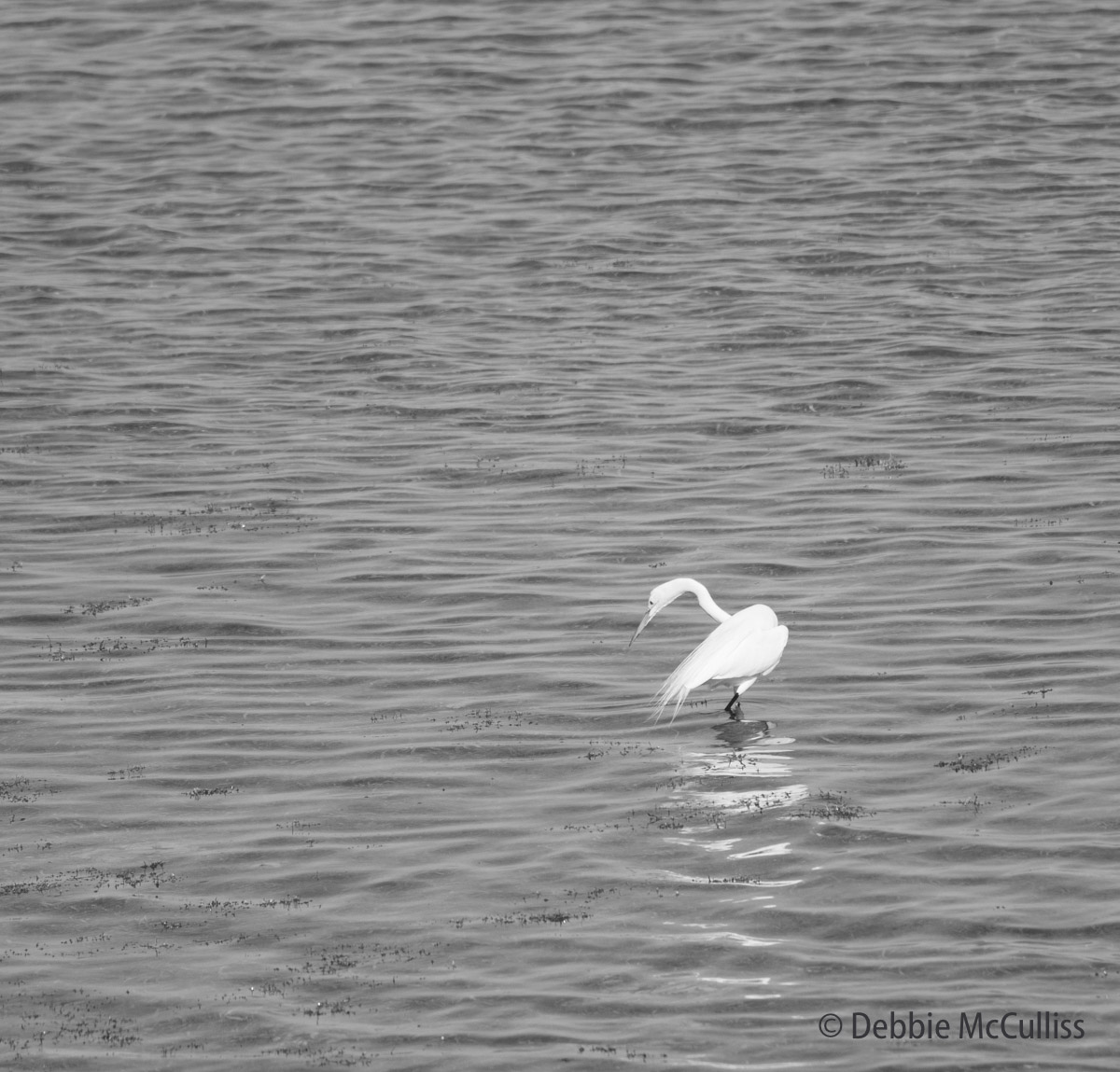 The egret is one of Florida's most iconic birds.