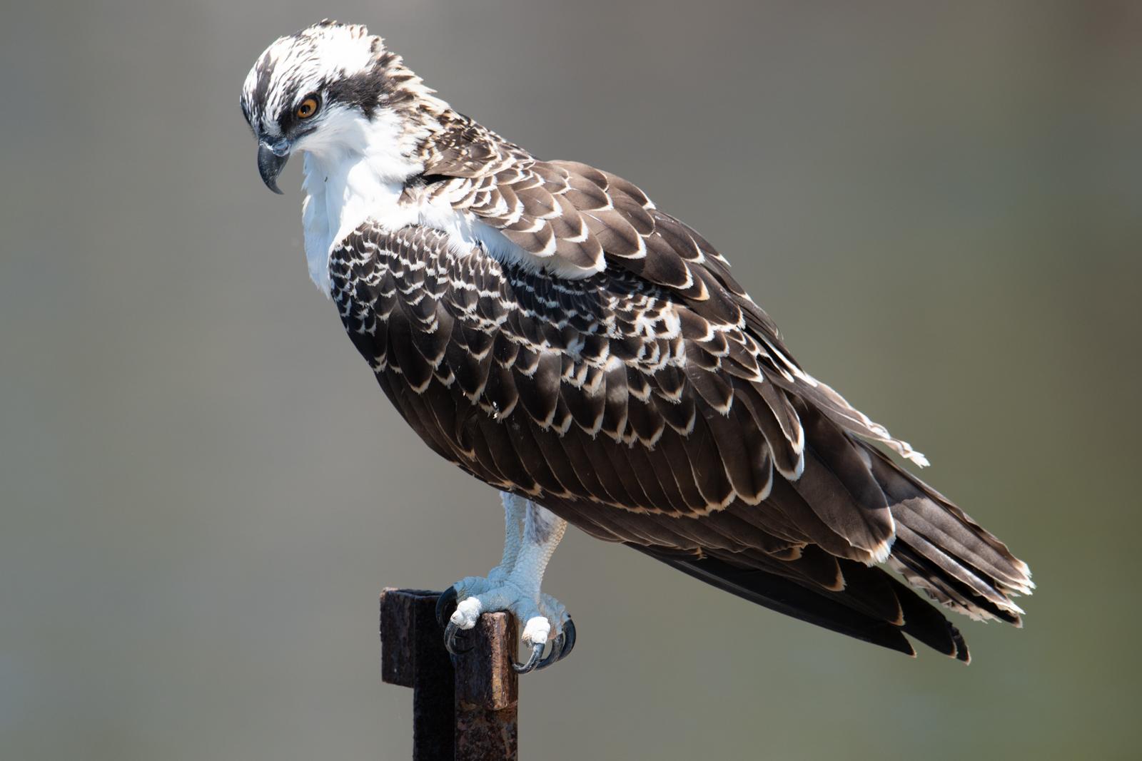 Islamorada, osprey, photo