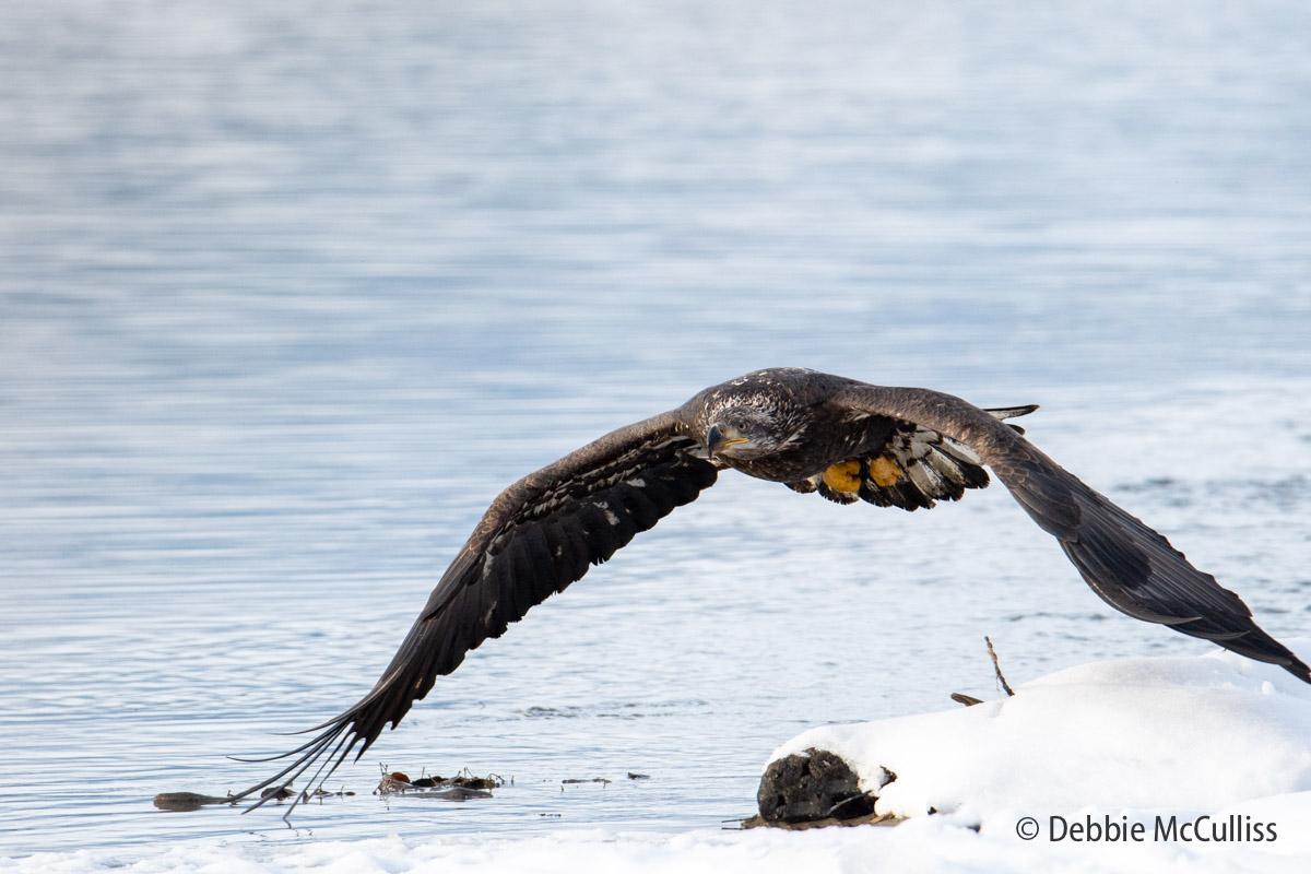 Chilkat River Eagle, photo