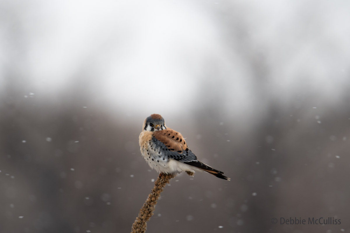 American Kestrel, photo
