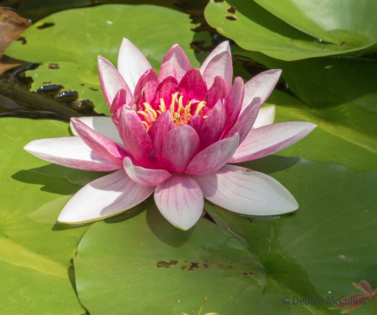 lily pad, water lily, summer, photo